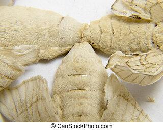 polillas, fertilidad, Ellos, gusano de seda