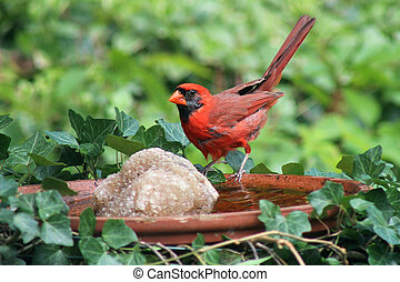 Male cardinal bird at bird bath - A male cardinal perches on...