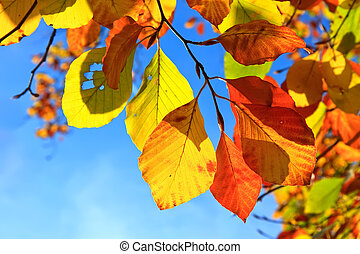 autumn leaves - Multicolored autumn leaves over blue sky...