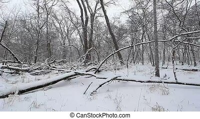 Winter Woodland Scene - Snow falls in a deciduous forest of...