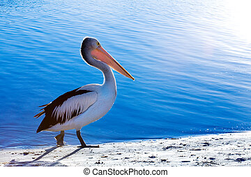 Pelican - A pelican walks along the beach next to sparkling...
