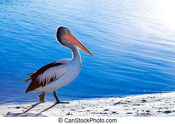 Pelican - A pelican walks along the beach next to sparkling...