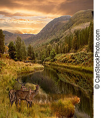 The Highlands of Scotland - As the sun sets three red deer...