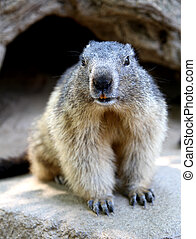 marmot - beautiful marmot