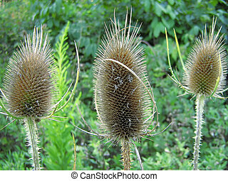 Common Teasle Dipsacus fullonum - This is a photograph of...