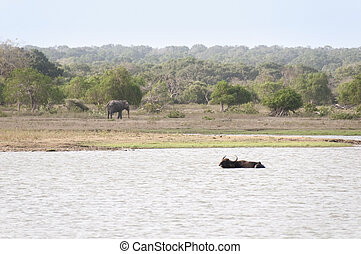 Lake and wild animals in a reserve, Sri lanka - Buffalo and...
