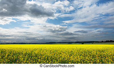 Rapeseed - rapeseed field with blue sky in summer