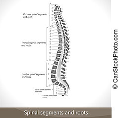 Spinal segments and roots. Detailed diagram.