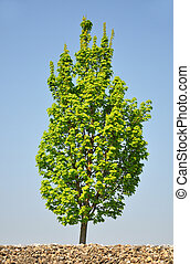 Maple tree