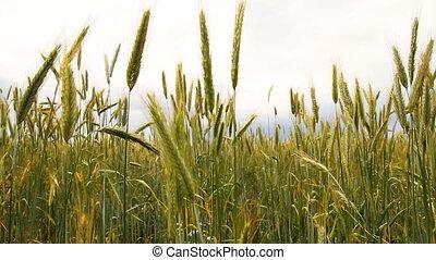 wheat field, slider