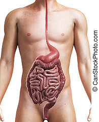healthy digestive system - 3d rendered medical illustration...