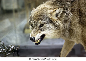 Angry wolf - Angry grey wolf in winter forest Very danger...