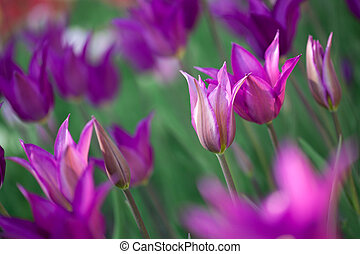 Beautiful pink tulips in garden