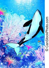 Aquatic - a powerful killer whale swims through the sea - a...