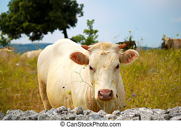 White cow - Photo of white cow on meadow