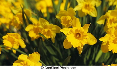 Spring daffodils. - Daffodils in the sun. Springtime....