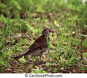 Song Thrush - small song thrush in grass at day