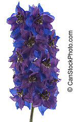 delphinium - Studio Shot of Blue and Violet Delphinium...