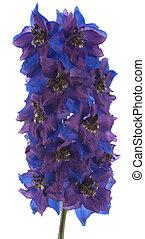 delphinium - Studio Shot of Blue and Violet Delphinium...