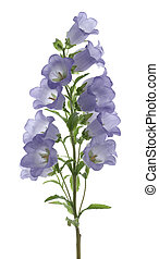 bellflower - Studio Shot of Blue Colored Bellflower Isolated...