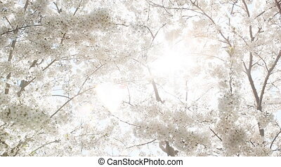 Heavenly blossoms. - Sun shining through branches of white...
