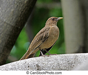 Clay-colored, grive, (Robin)
