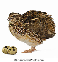 quail with its egg, isolated on white background