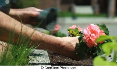 Planting geranium in a flowerbed.