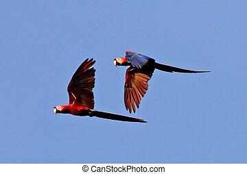 Scarlet Macaws - Scarlet Macaw pair Ara macao flying in...