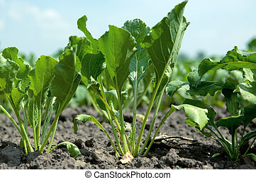 Sugar beet - A young sugar beet in the ground