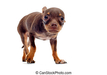 puppy chihuahua afraid - Scared chihuahua with his ears down...
