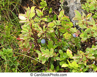 bush of bilberry - bush with ripe bilberry in the alps,...