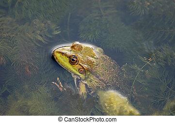 Frog in the pond - Frog in the algae in the pond