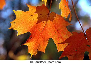 maple leaves - Sunny maple (Acer Platanoides)