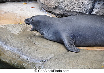 Hawaiian Monk Seal - A rare Hawaiian Monk seal in captivity...