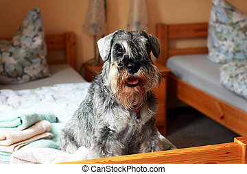 cute schnauzer pepper and salt - cute schnauzer seating on...