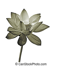 lotus - Lotus flower, isolated flora object on white...