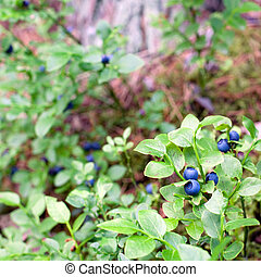 Healthy organic food - wild blueberries (Vaccinium...