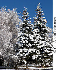 Snow Day - Snowy coating one trees after ice storm in the...