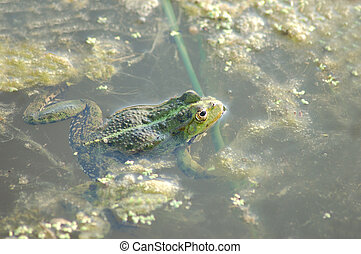 Frog in the duckweed in the pond