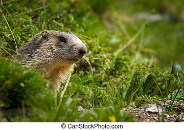 alpine marmot - A cute marmot in the alps