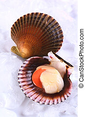 Raw queen scallop (lat. Aequipecten opercularis) with a...