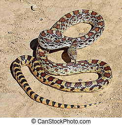 Gophersnake on dirt road - Gophersnake (Pituophis catenifer)...