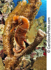 Seahorse - A Seahorse holding on to a gorgonian