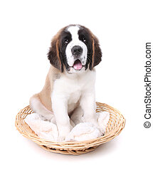 Cute Saint Bernard Puppy on White - Happy Cute Saint Bernard...