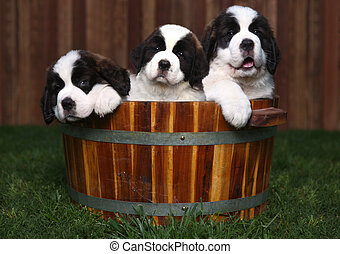 Three Adorable Saint Bernard Puppies in a Barrel - Adorable...