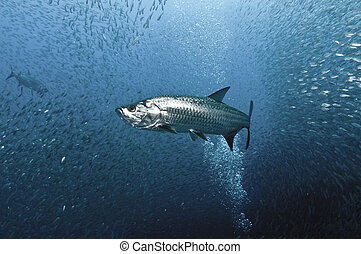 Tarpon Hunt - A Tarpon glides through a school of sardines.