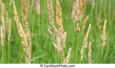 Reed Canary Grass in Wind - Reed Canary Grass (Phalaris...