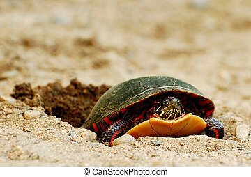 Painted Turtle Laying Eggs - Close-up of a painted turtle...
