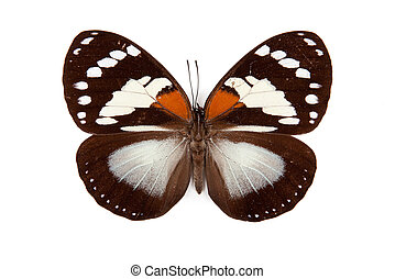 Balck and yellow butterfly Euxanthe trajanus isolated on...